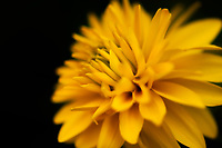 A beautiful and vibrant golden Dahlia.