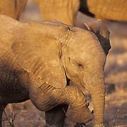 African Elephant, (Loxodonta africana)  Baby. Kenya, Africa.