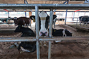 Cows at the Minero Farm near Koriyama, Fukushima, Japan Sunday November 22nd 2015 The Minero Farm is run by the NPO, Fukushima Agricultural Revitalizing Network (FAR-Net) and was intially sponsored by Danone. It aims to revitalise dairy farming in Fukushima through educational and training programmes.