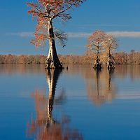 Bald cypress trees growing in Lake Drummond are bathed in evening light and reflected in the water, Great Dismal Swamp National Wildlife Refuge, Virginia.