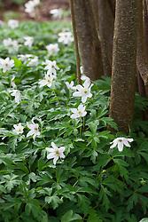 Anemone nemorosa. Wood anemone