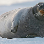 A bearded seal rests on the ice in Lom Fjord, Svalbard, Norway.