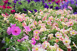 Petunia flowers for sale in garden centre, Augsburg, Bavaria, Germany