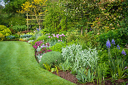 Curving border and lawn with neat, sharp edges at Eastgrove Cottage in spring. Tulipa 'Bleu Aimable', Camassia leictlinii Caerulea Group and Wallflower 'Bloomsy Baby Purple'