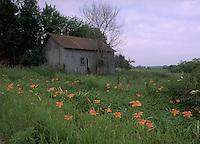 Tiger lillies and old barn on Iowa farm.  CD scan from 35mm chrome.  © John Birchard