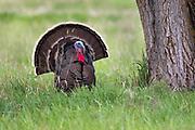 Wild Turkey in the Bitterroot Valley, Montana.