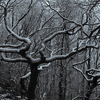 Oak trees with snow ina misty wood near Heptonstall