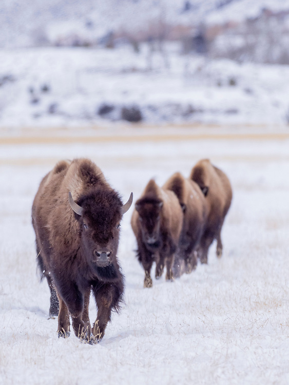 North America, United States, Wyoming, Yellowstone National Park,  Lamar Valley, bison in field of snow