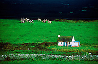 Cows graze behind a traditional thatched roof house, County Clare, Ireland