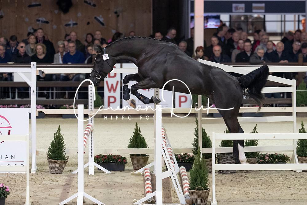 005, Quilepo van de Helle<br /> Hengstenkeuring BWP - Lier 2019<br /> © Hippo Foto - Dirk Caremans<br /> 18/01/2019