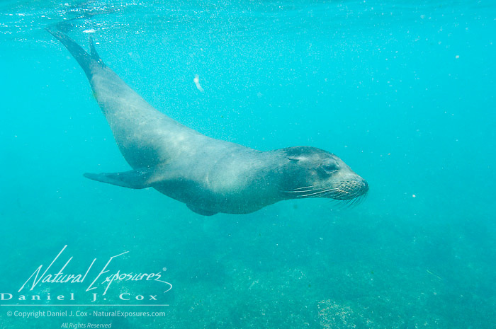 Galapagos Sea Lion (Zalophus californianus) swimming in blue-green ocean water.  Galapagos, Ecuador.