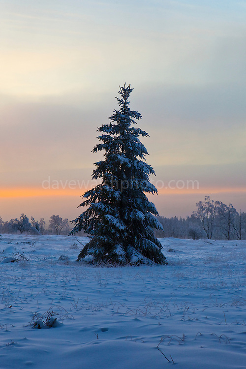 """December sunset and snow in the forest, near the Baraque Michel area of the Haute Fagnes, or High Fens in the Belgian Ardennes. This mage can be licensed via Millennium Images. Contact me for more details, or email mail@milim.com For prints, contact me, or click """"add to cart"""" to some standard print options."""