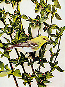 The yellow-throated vireo (Vireo flavifrons) is a small American songbird. From Birds : illustrated by color photography : a monthly serial. Knowledge of Bird-life Vol 1 No 1 June 1897