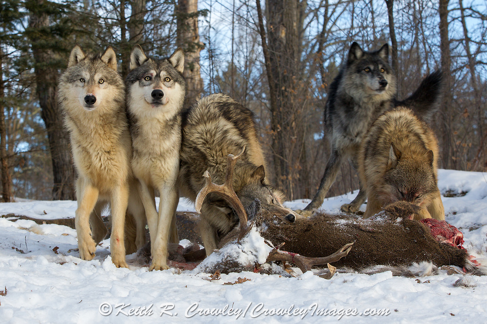 A pack of five gray wolves feed on a trophy buck carcass in wooded winter habitat. Captive pack.
