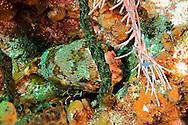 BalloonFish, Diodon holocanthus, Grand Cayman