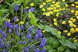 Ranunculus ficaria 'Old Master' with Muscari armeniacum 'Blue Spike' and arum italicum. Grape hyacinths and celandines