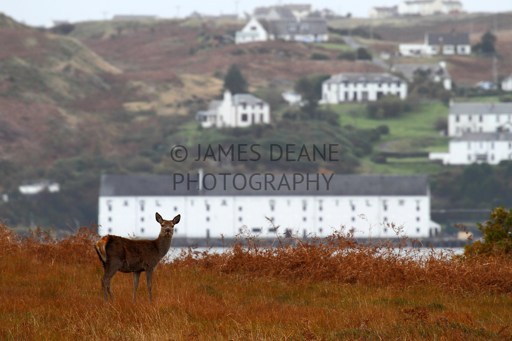 A deer at Inver on Jura, with a backdrop of Caol Ila across the Sound of Islay