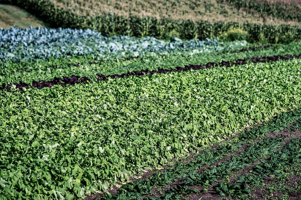 Vegetables growing on an organic farm.