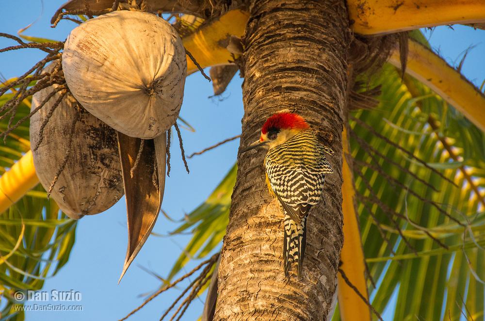 A West Indian Woodpecker, Melanerpes superciliaris murceus, perches on the trunk of a coconut palm on Isla de la Juventud, Cuba
