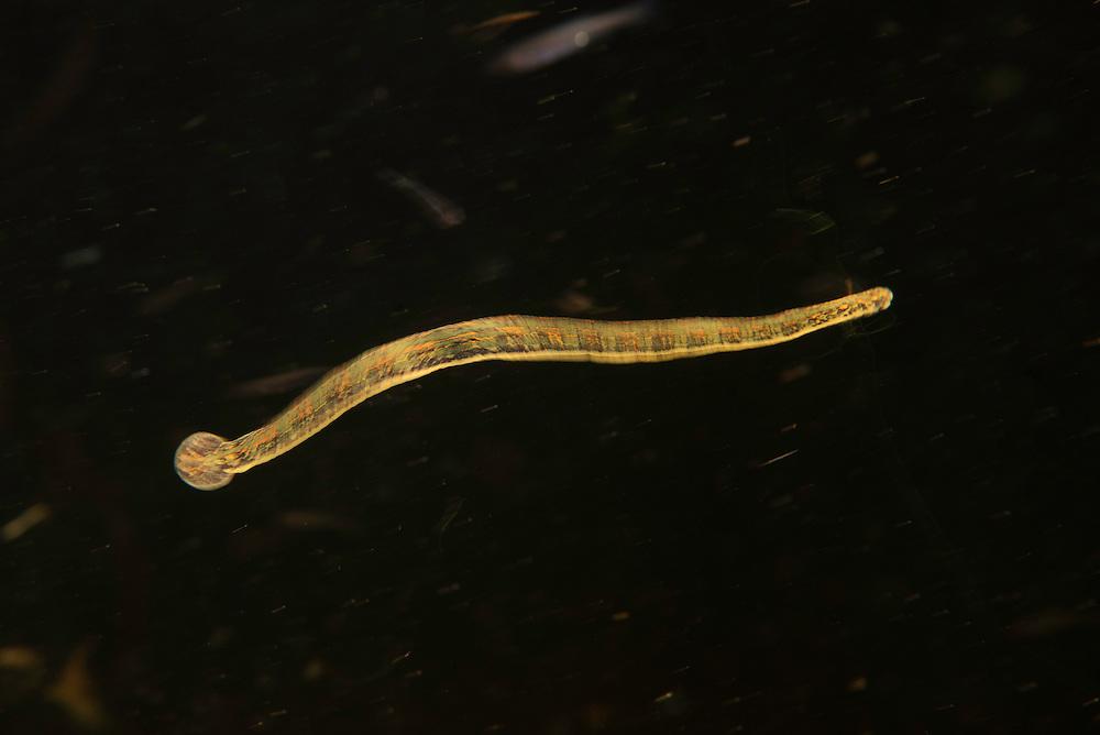 A large free swimming leech. possibly the medicinal leech (Hirudo medicinalis) called European medicinal leech, Danube Delta, Romania.