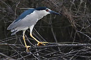 Black-crowned Night Heron, Nycticorax nycticorax, adult sitting on a branch in East Lake Greenway park, Wuhan, Hubei, China