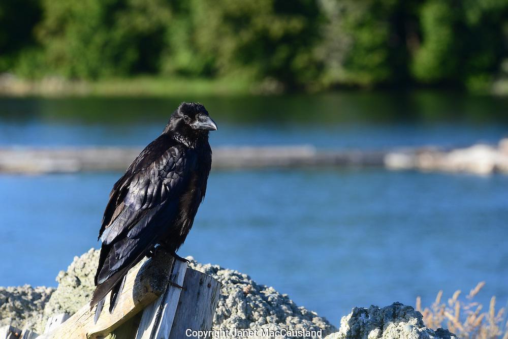 A Raven in Bella Bella, British Columbia, Canada over looks the bay.