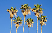 A row of 6 mature California Fan Palms (Washingtonia filifera) with blue sky background. Photographed in Israel