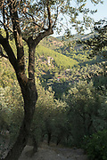 Olive trees in rural mountain landscape on sunny summer day, Lesbos, Greece