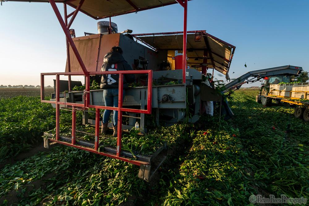 Pepper Tomato harvest Wednesday, August 25, 2021.<br /> Photo Andrew Innerarity
