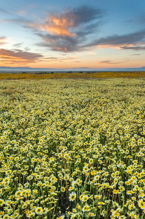Tidy-tips and Clouds at Sunrise, Carrizo Plain National Monument, California