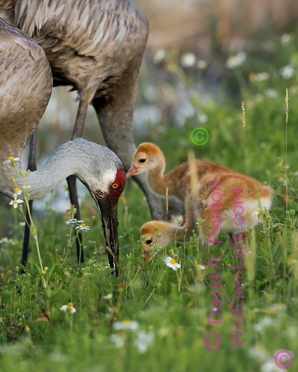 Sandhill crane chicks wait near adult that is foraging in a lush green meadow in a wetland, Florida, © David A. Ponton
