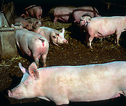 Interior of pig sty with sows for breeding, Wiltshire, England