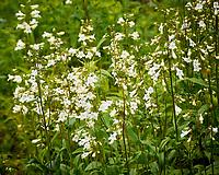 Beardtongue Foxglove flowers. Image taken with a Nikon 1 V3 camera and 70-300 mm VR lens.