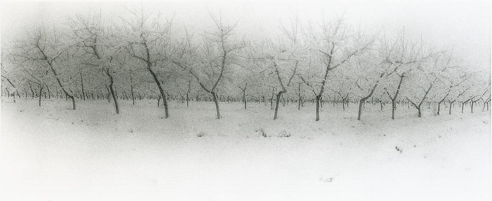 Snow on peach trees, Palisade, Colorado, black and white infra-red panorama