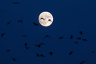 Crows fly in front of the nearly-full moon at twilight in Middletown, New York. The full moon of November, known as the Beaver Moon, will rise on Nov. 25, 2015.