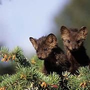 Pine Marten, (Martes americanus) Young kits. Spring. Montana. Captive Animal.