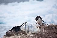 Gentoo penguin tormenting a nest-bound blue-eyed shag on Peterman Island, Antarctica