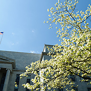 A tree with bright white and green blooms  in spring against the Rayburn House Building next to the US Capitol in Washington DC. An American flag flies in the breeze above the building.