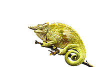 Cut out of a Fischer's Chameleon on White