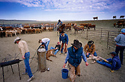 19 MAY 2002 - INGOMAR, MONTANA, USA: Cowboys brand calves on the Hoff ranch near Ingomar, MT, May 19, 2002. Ranches across Montana and the American west start branding their spring crop of calves in April and continue through May. This year's crop of calves is lower than in years past because of the drought gripping much of the west. Many ranches have moved to branding tables and chutes but the Hoff ranch still brands the traditional way by roping individual calves out of the herd. .PHOTO BY JACK KURTZ