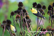 01640-16312 American Goldfinch (Spinus tristis) male eating purple coneflower (Echinacea purpurea) seeds Marion County, IL.