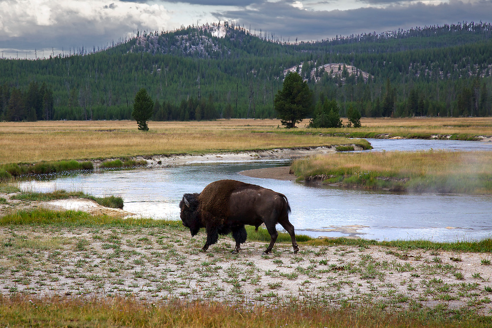 An American bison (a.k.a buffalo) in Elk Park along the Gibbon River in Yellowstone National Park, Wyoming.