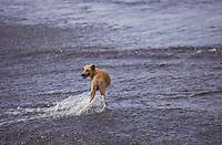 Perro dentro de rio Autana, Estado Amazonas, Venezuela