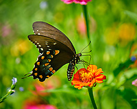 Spicebush Swallowtail (Papilio troilus) butterfly on a Zinnia flower.  Image taken with a Fuji X-T2 camera and 100-400 mm OIS lens