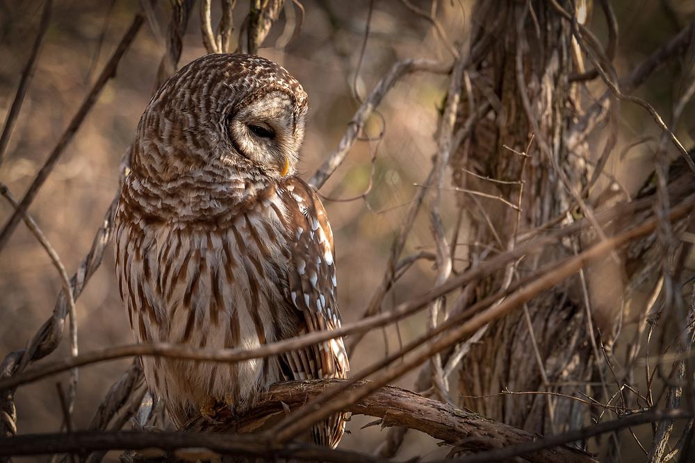 Barred Owl in Morning Light (Profile)