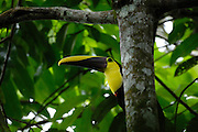 Ecuador, April 29 2010: Choco Toucan (Ramphastos brevis) in a tree at Río Canandé Reserve. Copyright 2010 Peter Horrell