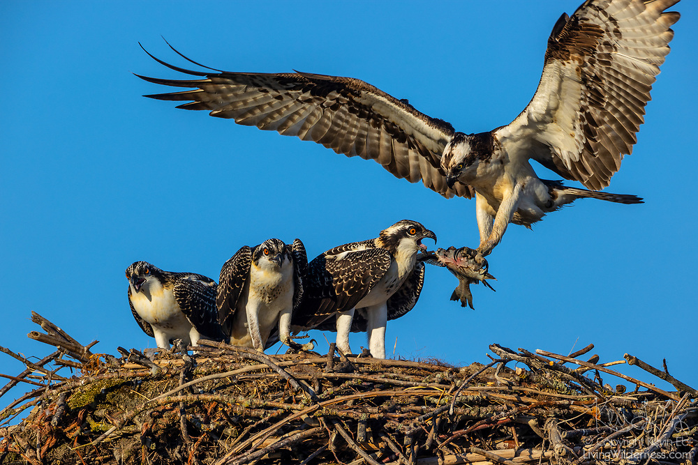 Three young osprey (Pandion haliaetus) jockey for position as one of their parents delivers part of a fish to their nest in Everett, Washington. Osprey feed almost exclusively on fish.