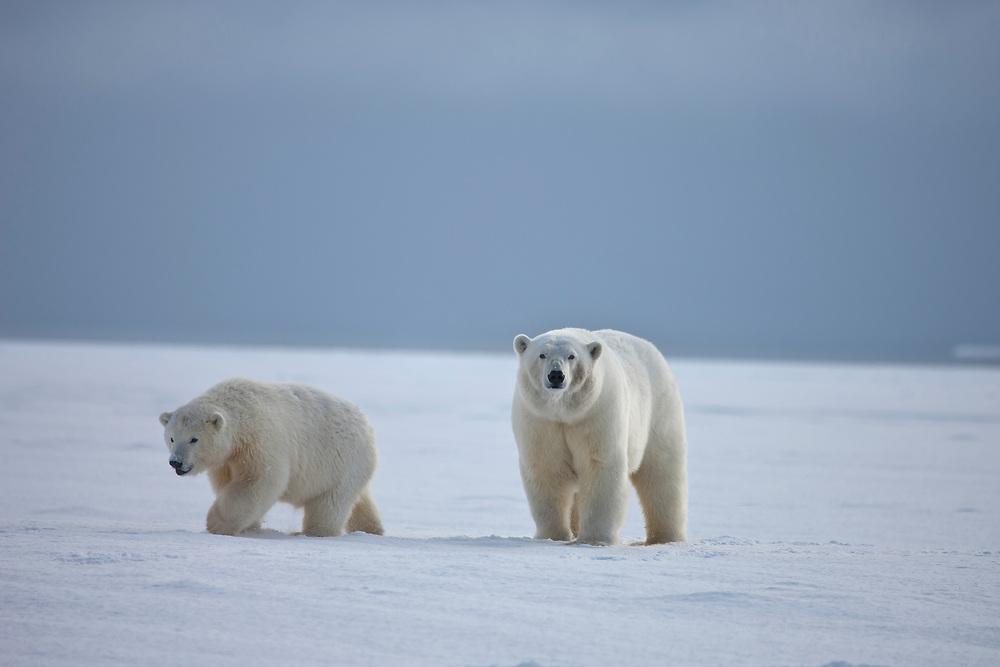 A polar bear cub and it's mother walk across a frozen landscape, on the Beaufort Sea coastline in ANWR, Northern Alaska.