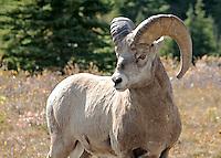 Bighorn Sheep in Kananaskis