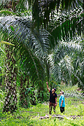Hasan, left discusses the health of the trees with Noraziza on her small family plot in Beluran District, Sabah, Malaysia, on 10 September 2016. The family has been able to increase their yields since becoming part of the Wild Asia Group scheme, which works with the Roundtable on Sustainable Palm Oil to support Malaysian smallholders to become certified sustainable. This includes improving farm management, reducing their use of pesticides and fertilizers, and increasing yields. The lush ground cover on this plot is a sign that herbicide is being used sparingly. Smallholders account for 40% of global palm oil production, and as such play an important role in increasing sustainability within the industry.